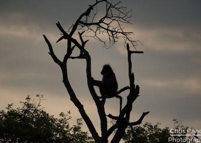 Baboon (Papio)