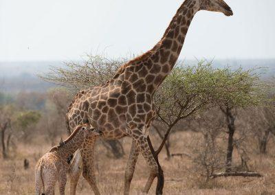 Giraffe (Giraffa)