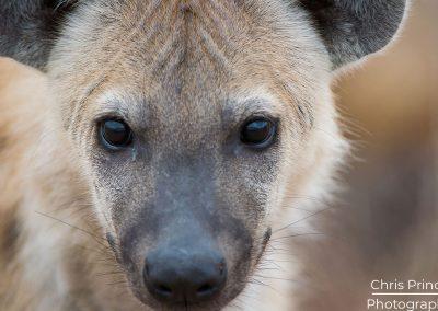 Hyena (Hyaenidae)
