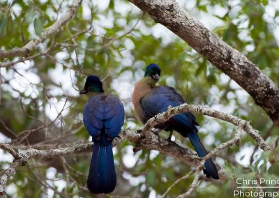 Purple Crested Turaco (Tauraco porphyreolophus)