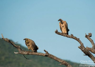 White Backed Vultures (gyps africanus)