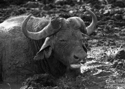 Cape Buffalo (Syncerus caffer )