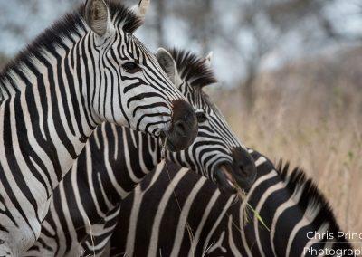 Zebras (Equus quagga)