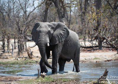 Elephant (Loxodonta)