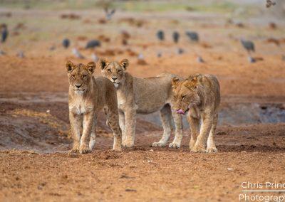 Lions (Panthera leo)