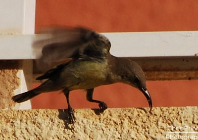 Sunbird (Nectariniidae)