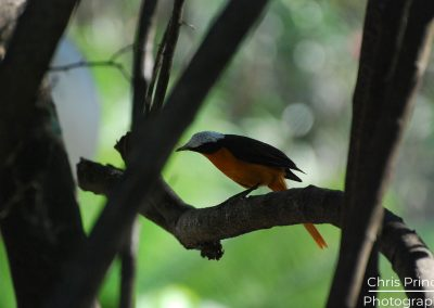 White Crowned Robin Chat (Cossypha albicapilla)
