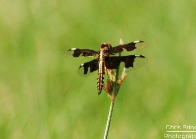 Widow Dragonfly (Libellula luctuosa)