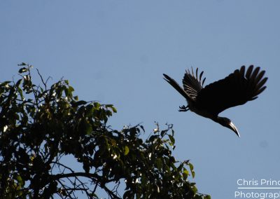 African Pied Hornbill (Tockus fasciatus)