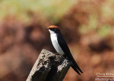 Wire Tailed Swallow (Hirundo smithii)