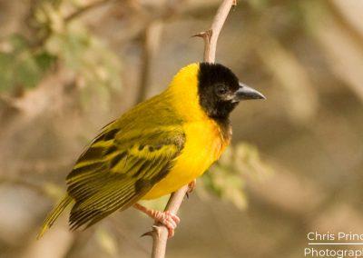 Yellow Backed Weaver (Ploceus melanocephalus)