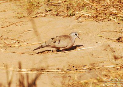 Black Billed Wood Dove (Turtur abyssinicus)