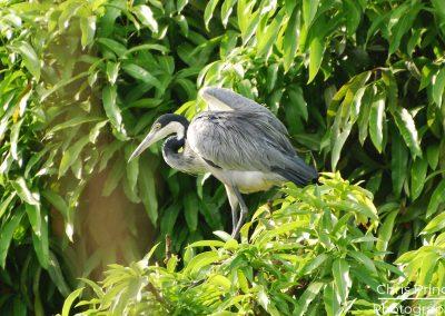 Black Headed Heron (Ardea melanocephala)
