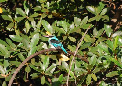 Blue Breasted Kingfisher (Halcyon malimbica)