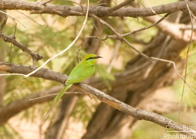 Blue Cheeked Bee Eater (Merops persicus)