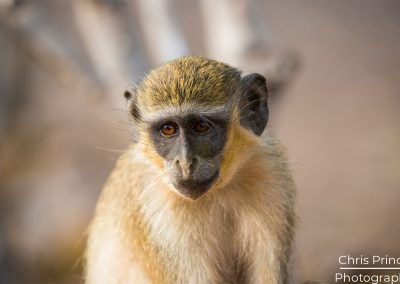 Caithrix Green Monkey (Chlorocebus sabaeus)