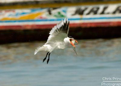 Caspian Tern (Hydroprogne caspia)