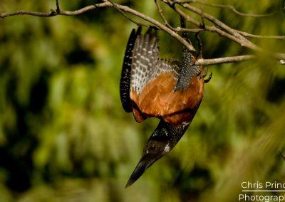 Great Kingfisher (Megaceryle maxima)