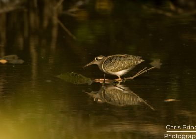 Great Painted Snipe (Female)(Rostratula benghalensis)