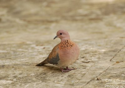 Laughing Dove (Spilopelia senegalensis)