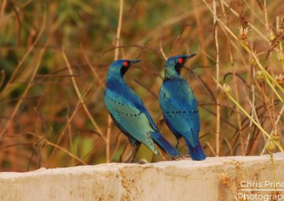 Lesser Blue Eared Starling (Lamprotornis chloropterus)