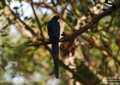 Long Tailed Glossy Starling (Lamprotornis caudatus)