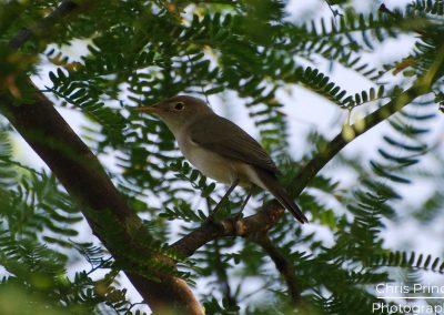 Olivaceous Warbler (Hippolais pallida)