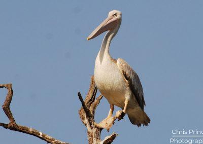 Pink Backed Pelican (Pelecanus rufescens)