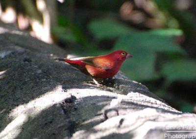 Red Billed Fire Finch (Lagonosticta senegala)