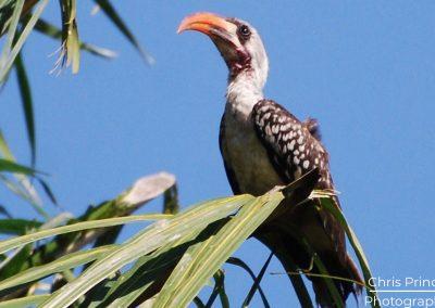 Red Billed Hornbill (Tockus erythrorhynchus)