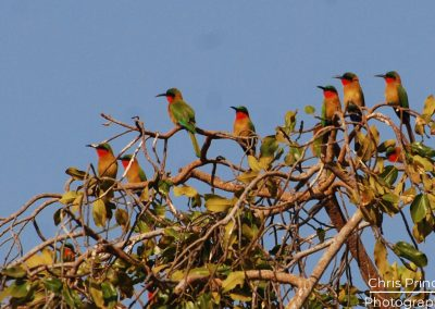 Red Cheeked Bee-Eater (Merops persicus)