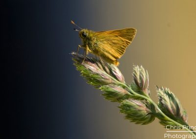 Small Skipper (Thymelicus sylvestris)