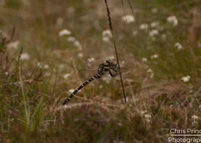 Golden Ringed Dragonfly (Cordulegaster boltonii)