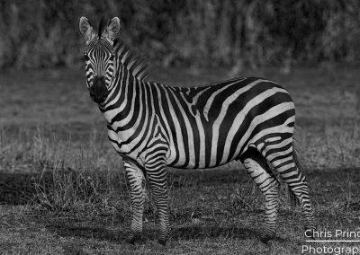 Zebra (Burchell's zebra)