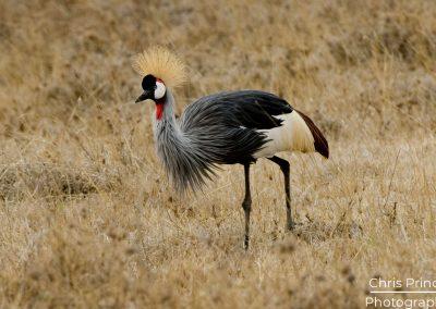 Grey Crowned Crane (Balearica pavonina ceclige)