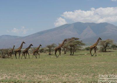 Giraffe's (Giraffa camelopardalis)