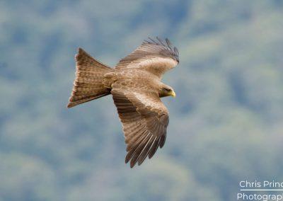 Black Kite (milvus migrans parasitus)