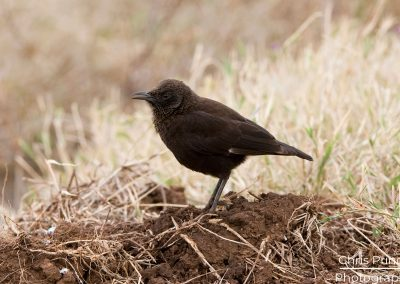 Northern Anteater Chat (Myrmecocichla aethiops cryptoleuca)