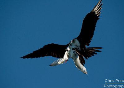 Frigatebird (Fregata)