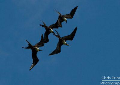 Frigatebirds (Fregata)