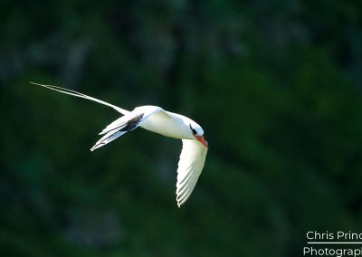Red Billed Tropic Bird (Phaethon aethereus)