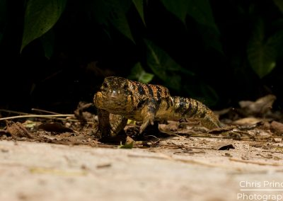 Tiger Lizard (Tupinambis negropunctatus)