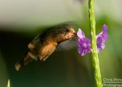 Tufted Coquette (Lophornis ornatus)