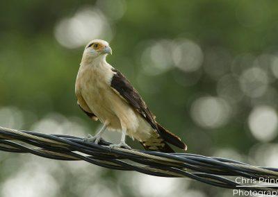 Yellow Headed Caracara (Milvago chimachima)