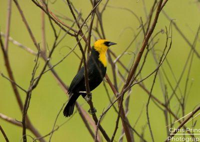 Yellow Hooded Blackbird (Chrysomus icterocephalus)