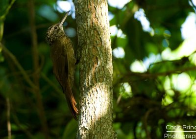 Cocoa Wood Creeper (Xiphorhynchus susurrans)