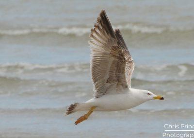 Yellow Legged Gull (Larus michahellis)