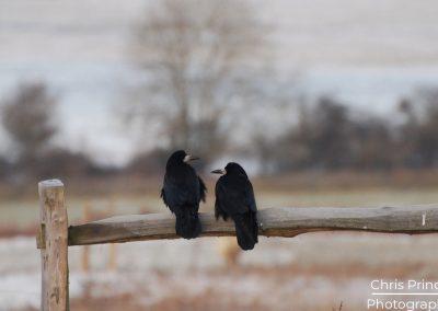 Rooks (Corvus frugilegus)