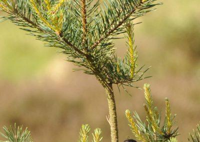 Stonechat (Saxicola rubicola)