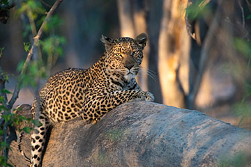 Leopard chilling in the evening sun. Wildlife photography by Chris Prince